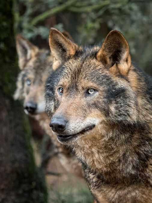 wolf-magic-animal-power-1